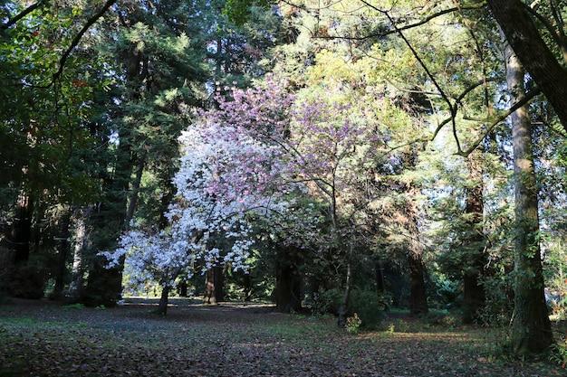 Ogród ozdobny z kwitnącymi dużymi wiśniami, kwitnącymi wiśniami w białych i różowych drzewach w parku