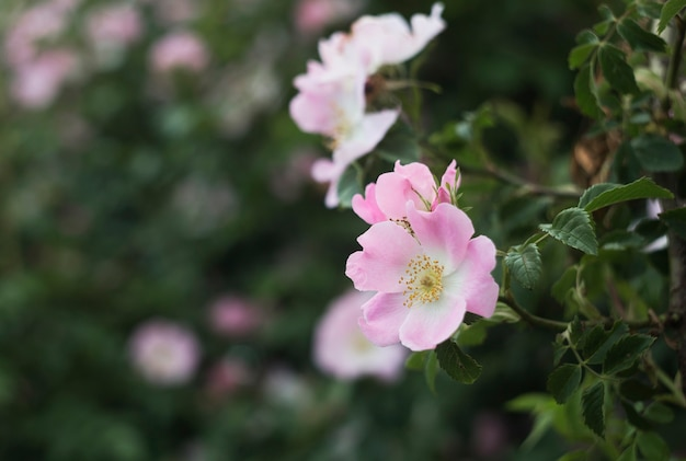 Ogród różany nad zielenią.