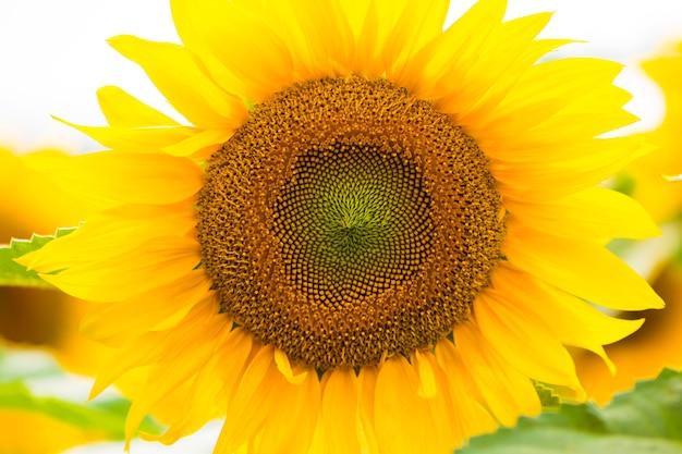 Ogród słoneczników. słoneczniki mają obfite korzyści zdrowotne. olej słonecznikowy poprawia zdrowie skóry i promuje regenerację komórek