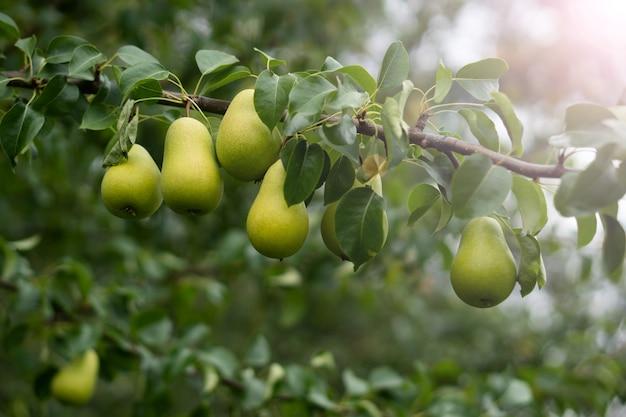 Ogród świeże gruszki na gałęzi