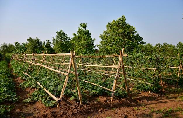 Ogród warzywny, kiełki fasoli i kule wspinaczkowe na bambus