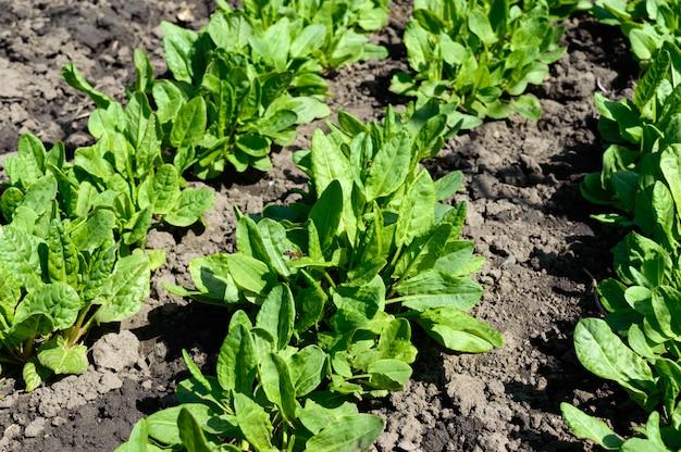 Ogród warzywny z ziołami. młody szczaw rośnie na ziemi.