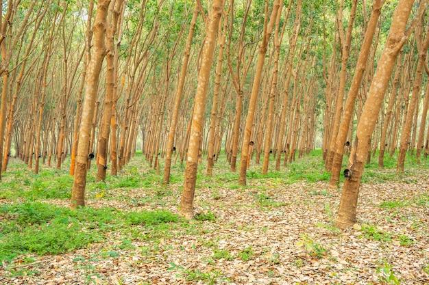 Ogród z drzewami gumowymi w azji