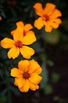 Ogród z jasnopomarańczowych kwiatów pięknie kwitnie w jesiennym ogrodzie