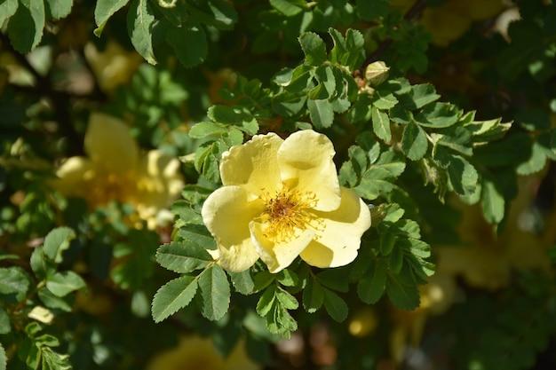Ogród z pięknie kwitnącym żółtym krzewem róży.
