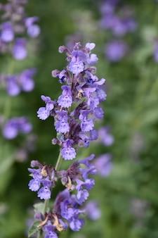 Ogród z pięknymi jasnofioletowymi kwitnącymi kwiatami kocimiętki.