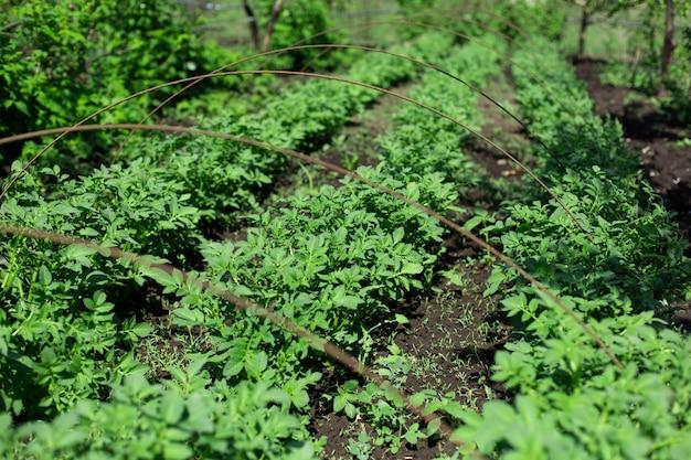 Ogród z ziemniakami sadzonymi w rzędach. koncepcja rolnictwa.