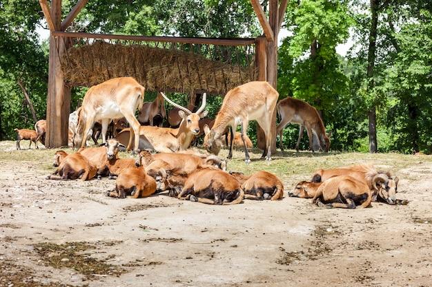 Ogród zoologiczny. stado antylop na zielonym lesie