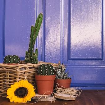Ogrodnictwo dekoracji z niektórych kaktusów i słonecznika