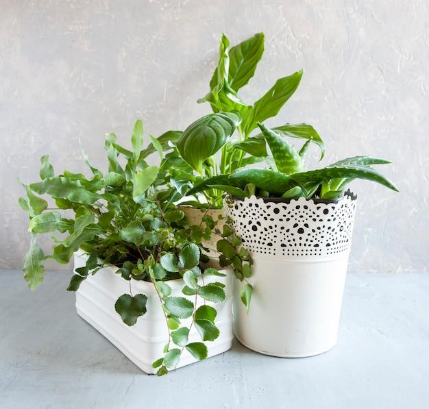 Ogrodnictwo domowe. doniczkowe zielone rośliny na stole