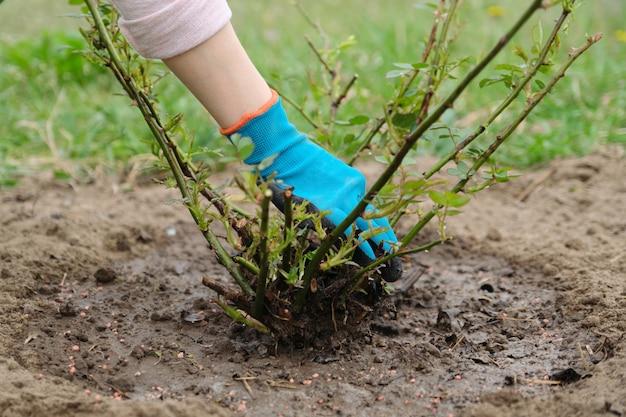 Ogrodnictwo wiosenne, ogrodniczka w rękawiczkach z narzędziami ogrodowymi