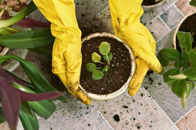Ogrodnicy wręczają żółte rękawiczki do sadzenia kwiatów w doniczce.