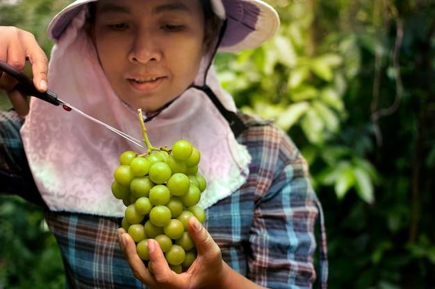 Ogrodnicy zbierają kiść winogron