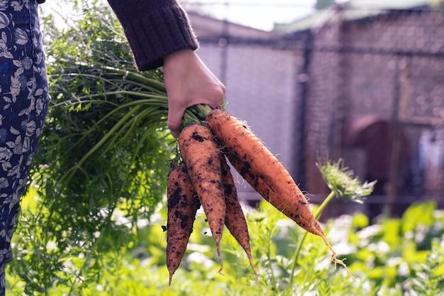 Ogrodniczka kobieta trzyma bukiet świeżych marchewek z ogrodu