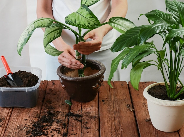 Ogrodniczka przesadzająca spathiphyllum crassula perfoliata w plastikowych doniczkach na brązowym drewnie