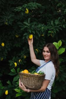 Ogrodniczka w niebieskim pasiastym fartuchu zbiera dojrzałą cytrynę z drzewa i wkłada ją do kosza