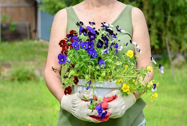 Ogrodnik kwiaciarnia w rękawicach roboczych trzyma sadzonki bratków w letnim ogródku przy domu, na świeżym powietrzu. pojęcie ogrodnictwa i kwiatów.