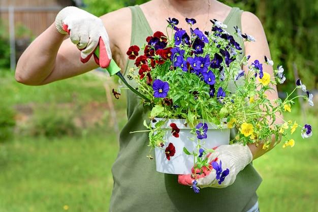 Ogrodnik kwiaciarnia w rękawiczkach roboczych trzyma sadzonki bratków w letnim ogrodzie domu w ...
