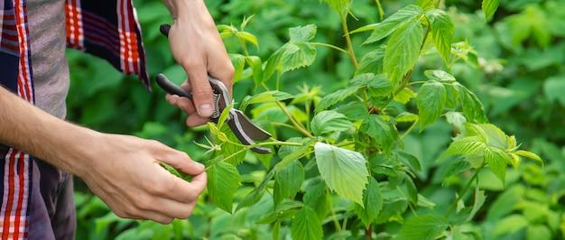 Ogrodnik nożyce do cięcia krzaków. ogród.