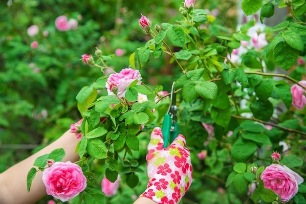 Ogrodnik przycina nożyce do róż herbaty. selektywne skupienie.