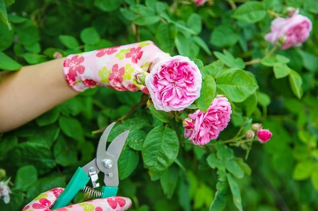 Ogrodnik przycina nożyce do róż herbaty.