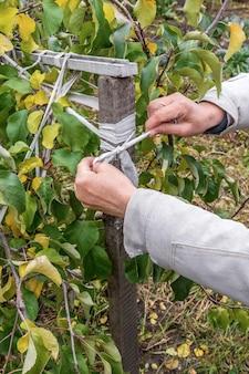 Ogrodnik przywiązuje sadzonki jabłoni do drewnianego kołka jesienne prace ogrodnicze
