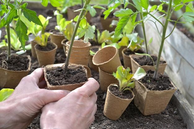 Ogrodnik ręka trzyma sadzonki pomidorów gotowy do sadzenia w ogrodzie