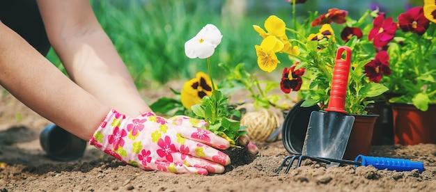 Ogrodnik sadzi kwiaty w ogrodzie. selektywne skupienie. natura.