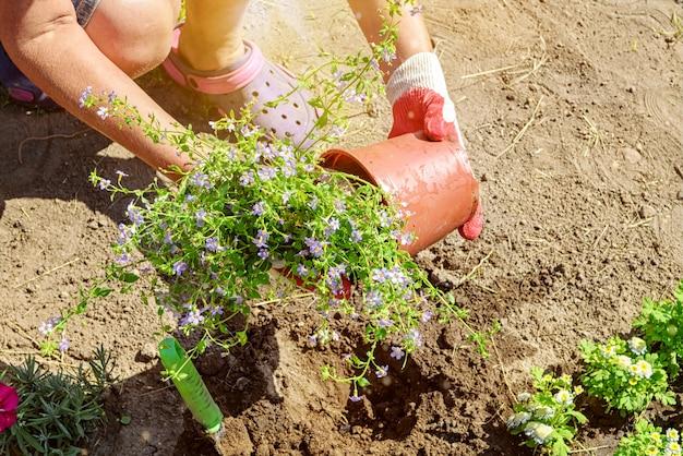 Ogrodnik sadzi sadzonki kwiatów bakopy zbliżenie zdjęcie rąk w rękawiczkach z selektywnym nieostrością