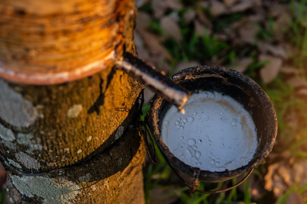Ogrodnik stukający gumowe drzewo lateksowe. lateks gumowy ekstrahowany z drzewa kauczukowego.