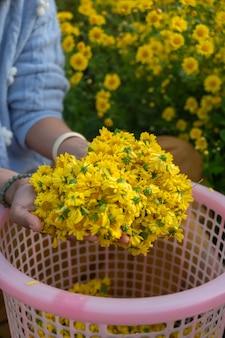 Ogrodnik trzymający w dłoni żółte kwiaty chryzantemy.