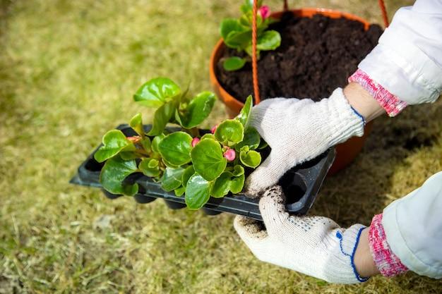 Ogrodnik w domowych rękawiczkach sadząc kwiat od pęcherzy do doniczki bez twarzy w słoneczny dzień