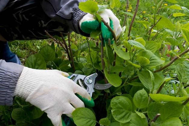 Ogrodnik w rękawiczkach odcina złamane gałęzie na nożycach ogrodowych krzewów hortensji. koncepcja przycinania ogrodu letniego, ogrodnictwa, pielęgnacji roślin i ogrodu