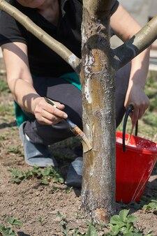 Ogrodnik wybiela pień drzewa kredą w ogrodzie, pielęgnacja drzew wiosną. ogrodniczka dba o drzewa na ulicy w parku.