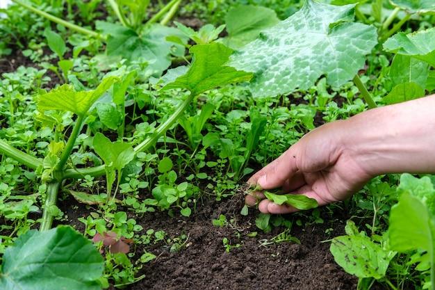 Ogrodnik wyciąga chwasty ręką w grządce ogrodowej, gdzie rośnie dynia o dużych zielonych cętkowanych liściach