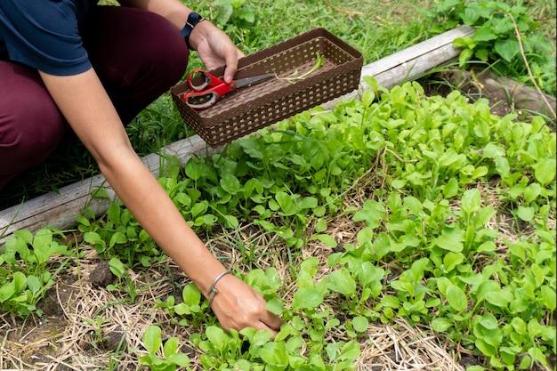 Ogrodnik zbierający warzywa w ogrodzie