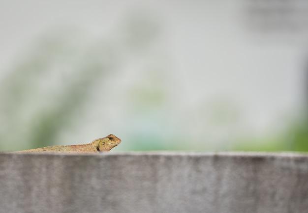 Ogrodowa jaszczurka na cement ścianie / pospolita brown jaszczurki asia gada przyroda na natute
