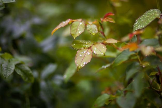 Ogrodowe zielone liście rośliny z kroplami deszczu