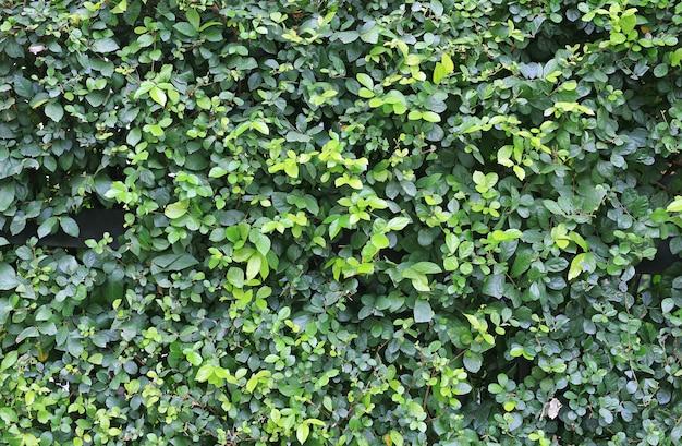 Ogrodzenie ścienne zielone liście. dekoracja ogrodu.