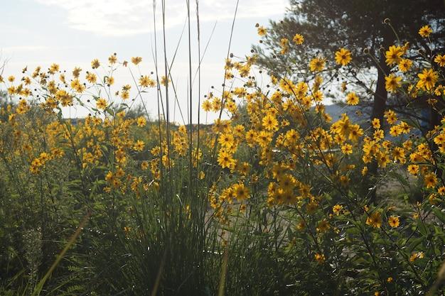Ogrodzenie z żółtych wysokich kwiatów, oświetlone słońcem.