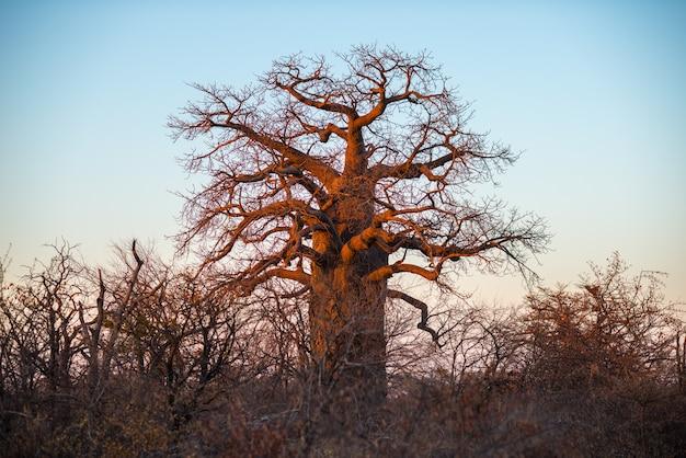 Ogromna baobab roślina w afrykańskiej sawannie z jasnym niebieskim niebem przy wschodem słońca. botswana, jedna z najbardziej atrakcyjnych destynacji turystycznych w afryce.