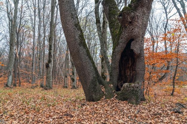 Ogromna dziupla w pniu starego drzewa