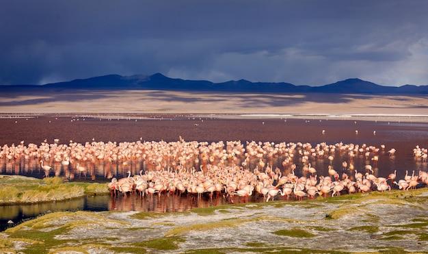 Ogromna kolonia jamesa flamingo w laguna colorada, boliwia. ameryka południowa.