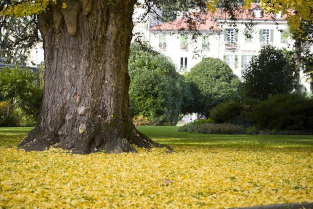 Ogromne drzewo otoczone żółtymi liśćmi w środku ogrodu w ciągu dnia