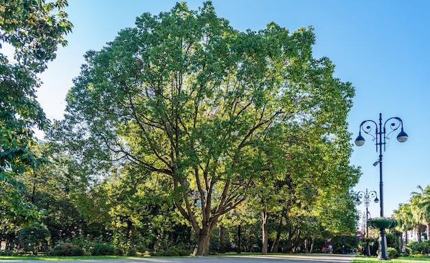 Ogromne drzewo samotnie w centrum soczi w słoneczny dzień. rosja.