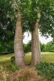 Ogromne drzewo z podwójnym pniem w publicznym parku w madrycie