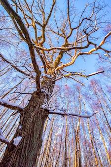 Ogromne rozłożyste drzewo zimą w lesie w pomarańczowym słońcu. śnieg na drzewach. słoneczny. orientacja pionowa.