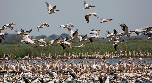 Ogromne skupisko białych pelikanów na wyspie ermakov na ukrainie, w delcie dunaju