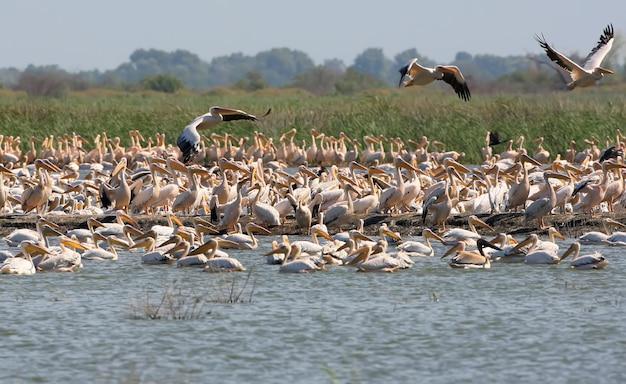 Ogromne stado białych pelikanów na wyspie ermakov na ukrainie, w delcie dunaju