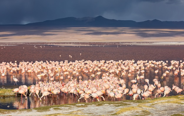 Ogromne stado flamingów w laguna colorada w potosi boliwia ameryka południowa